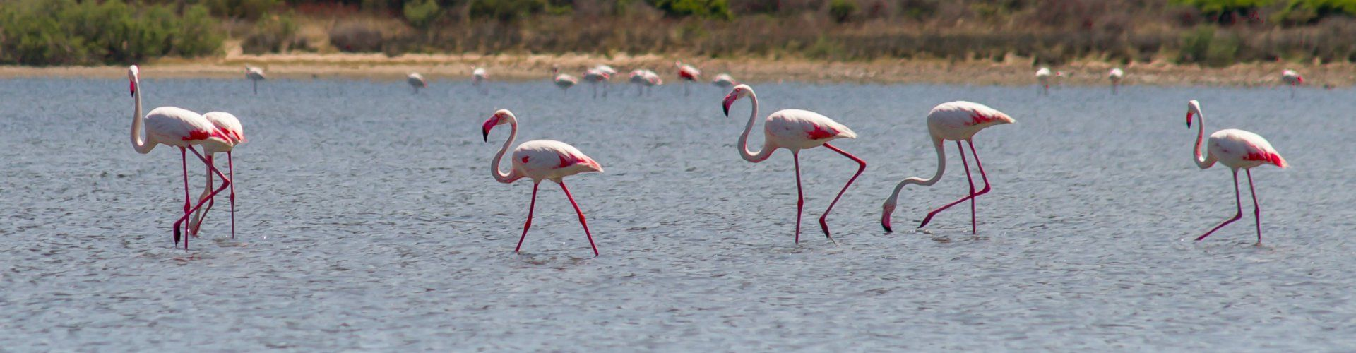Flamingos wade the lagoon of Torresalinas