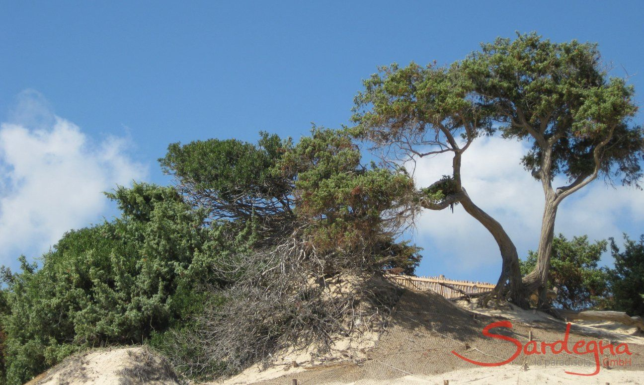 Dunes with juniper in Chia