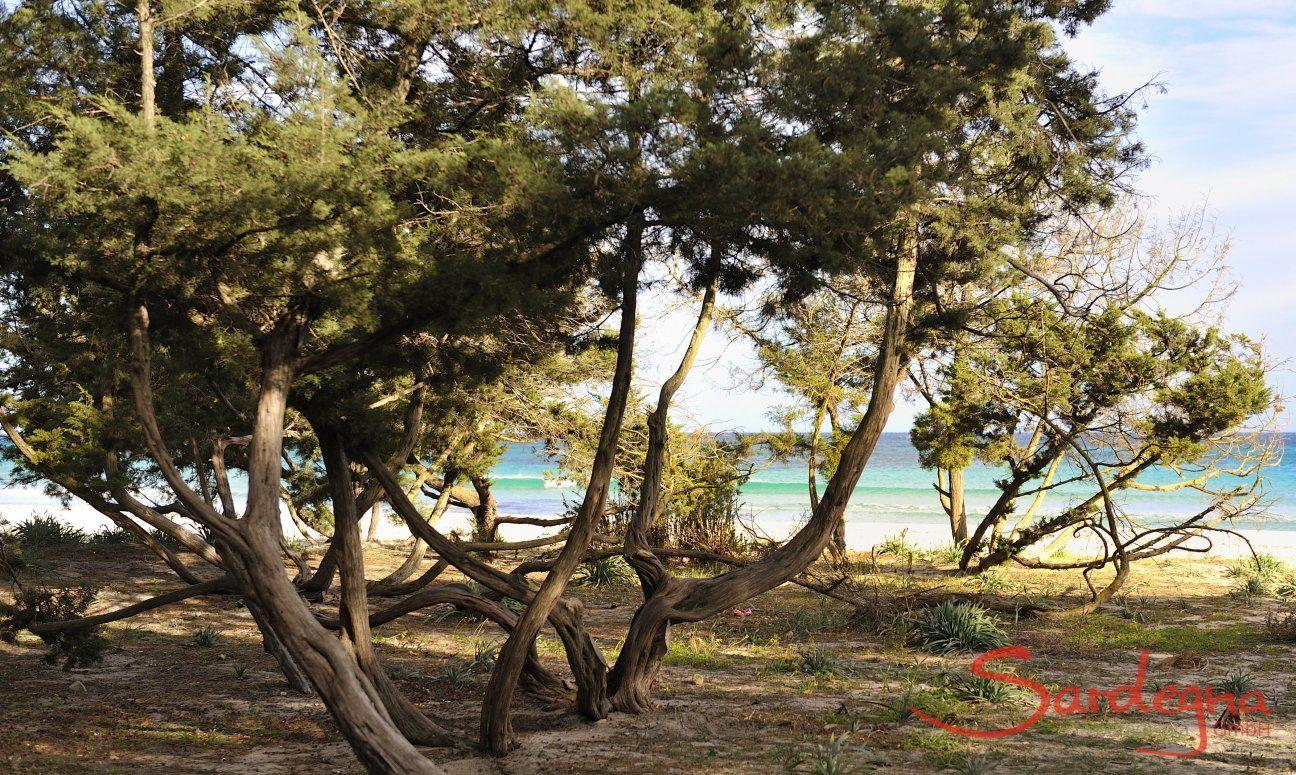Juniper trees on the beach Cala Ginepro close to Cala Liberotto