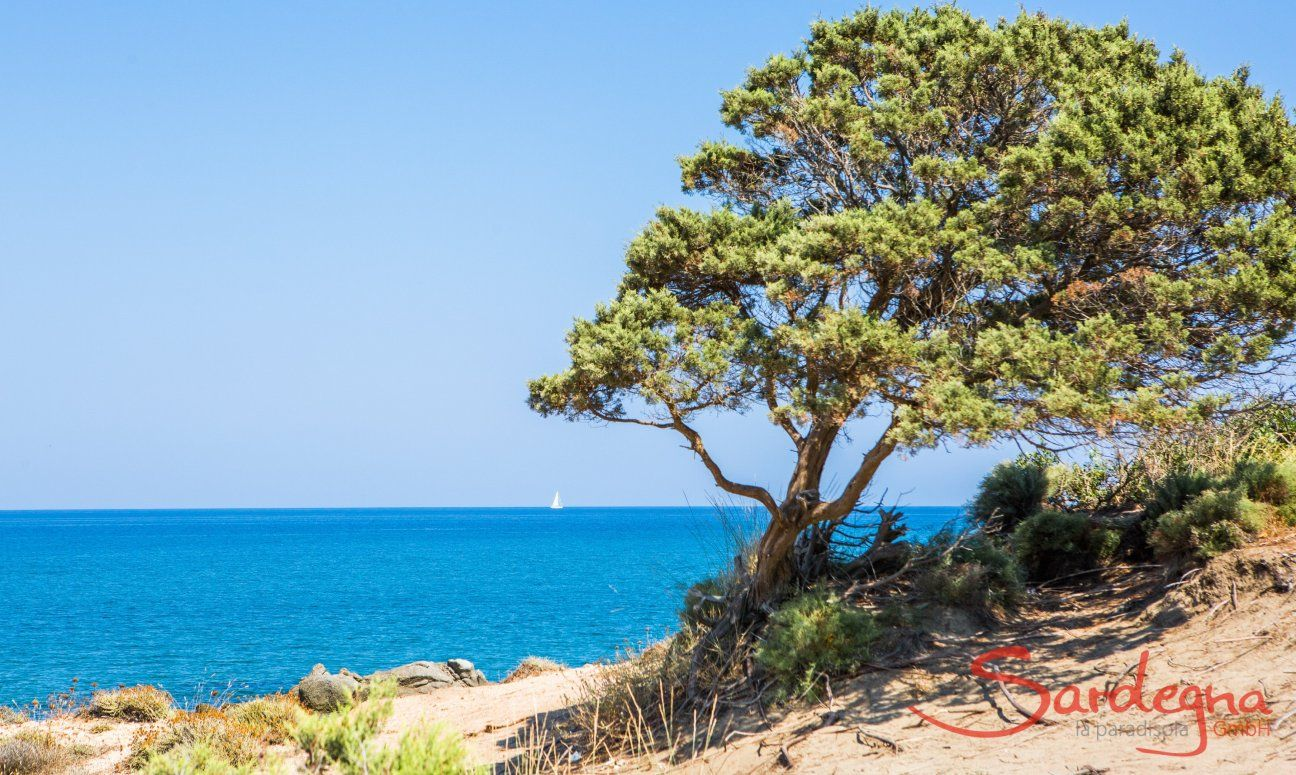 Juniper tree formed by the wind and view on the blu sea of Capo Ferrato