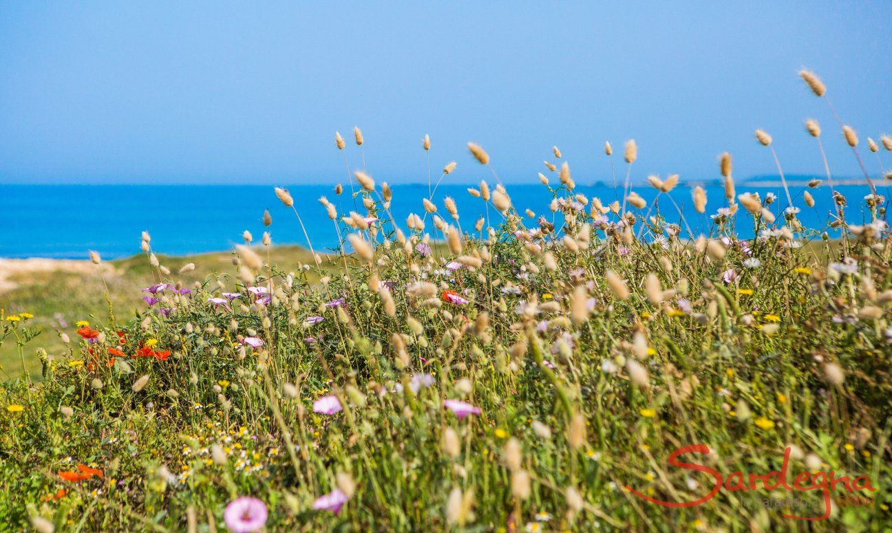 Wild flowers on the beach of Is Arutas
