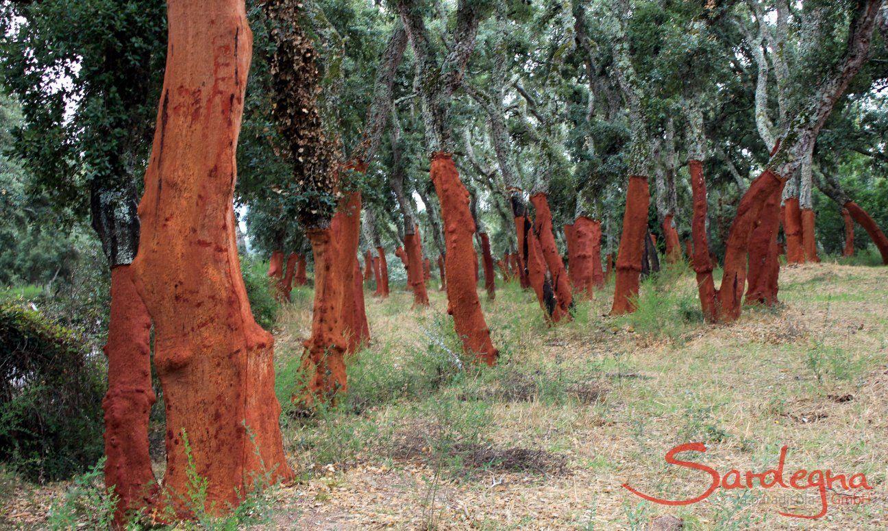 Cork oak forest in North Sardinia