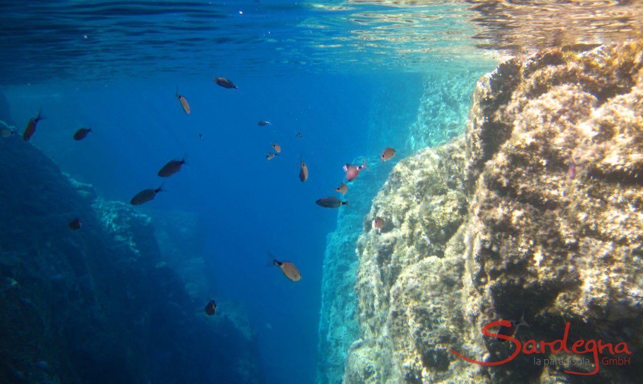 Underwater picture of sea brams