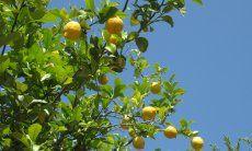 Lemon tree next to terrace