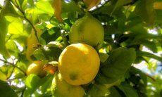 Lemontree in the garden