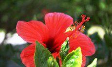Hibisucus flower in the garden