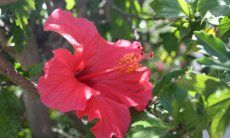 Red Hibiscus flower with grenn leaves behind it
