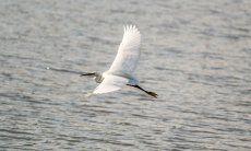 Heron flying over the lagoon of Porto Taverna