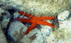 Underwater picture of a red sea star
